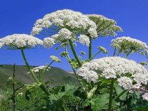 Come trattare le ustioni di hogweed